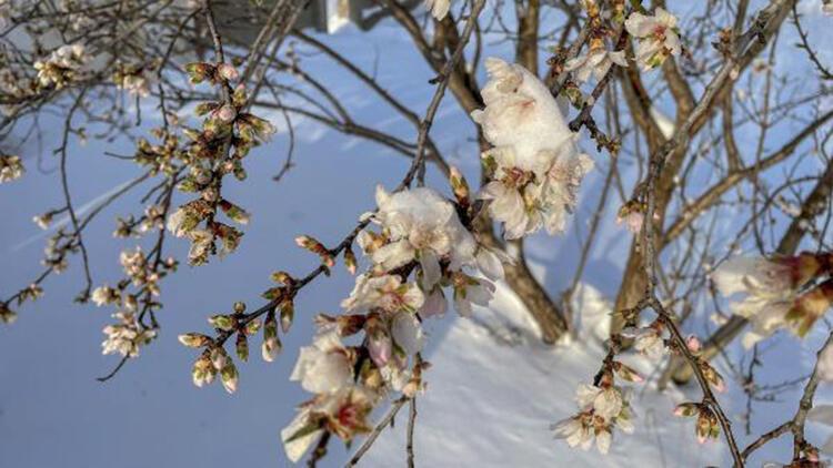 Yalancı bahara aldanıp, çiçeklenen meyve ağaçları buz tuttu