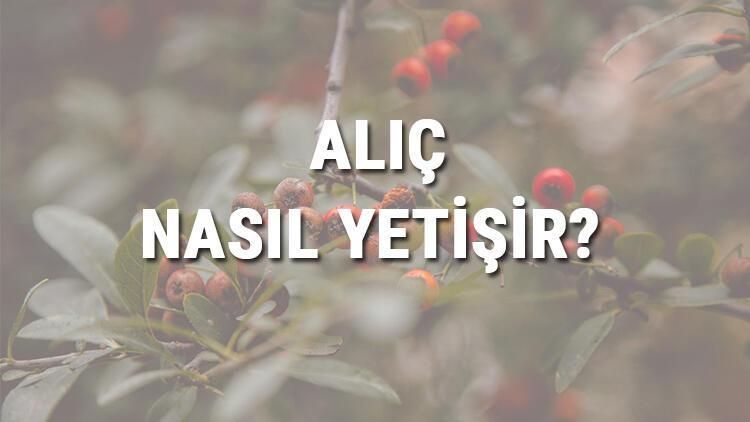 Alıç Nasıl Yetişir? Alıç Türkiye'de En Çok Ve En İyi Nerede Yetişir Ve Nasıl Yetiştirilir?