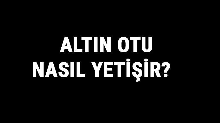 Altın Otu Nasıl Yetişir? Altın Otu Türkiye'de En Çok Ve En İyi Nerede Yetişir Ve Nasıl Yetiştirilir?