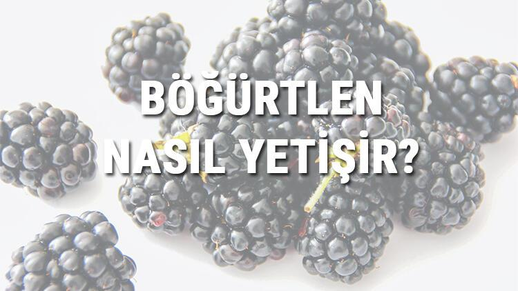 Böğürtlen Nasıl Yetişir? Böğürtlen Türkiye'de En Çok Ve En İyi Nerede Yetişir Ve Nasıl Yetiştirilir?