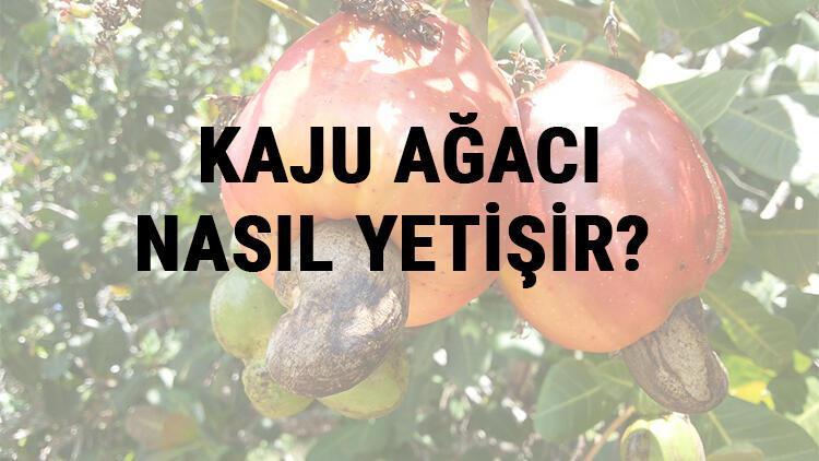 Kaju Ağacı Nasıl Yetişir? Kaju Ağacı Türkiye'de En Çok Ve En İyi Nerede Yetişir Ve Nasıl Yetiştirilir?