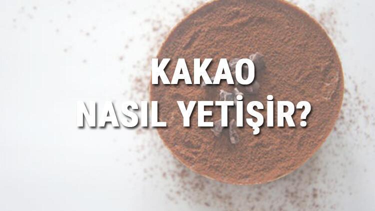 Kakao Nasıl Yetişir? Kakao Türkiye'de En Çok Ve En İyi Nerede Yetişir Ve Nasıl Yetiştirilir?