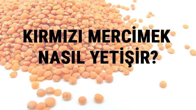 Kırmızı Mercimek Nasıl Yetişir? Kırmızı Mercimek Türkiye'de En Çok Ve En İyi Nerede Yetişir Ve Nasıl Yetiştirilir?