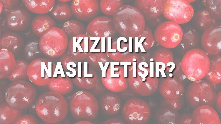 Kızılcık Nasıl Yetişir? Kızılcık Türkiye'de En Çok Ve En İyi Nerede Yetişir Ve Nasıl Yetiştirilir?