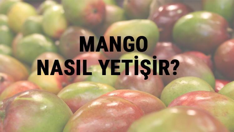 Mango Nasıl Yetişir? Mango Türkiye'de En Çok Ve En İyi Nerede Yetişir Ve Nasıl Yetiştirilir?