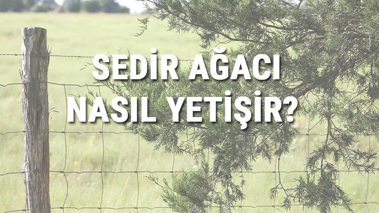 Sedir Ağacı Nasıl Yetişir? Sedir Ağacı Türkiye'de En Çok Ve En İyi Nerede Yetişir Ve Nasıl Yetiştirilir?