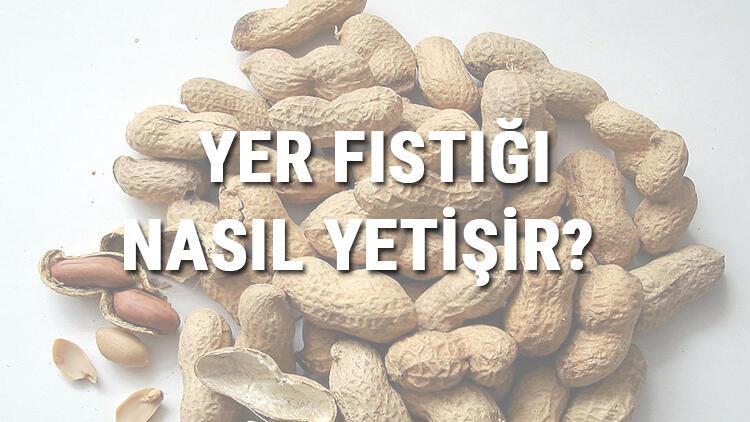 Yer Fıstığı Nasıl Yetişir? Yer Fıstığı Türkiye'de En Çok Ve En İyi Nerede Yetişir Ve Nasıl Yetiştirilir?