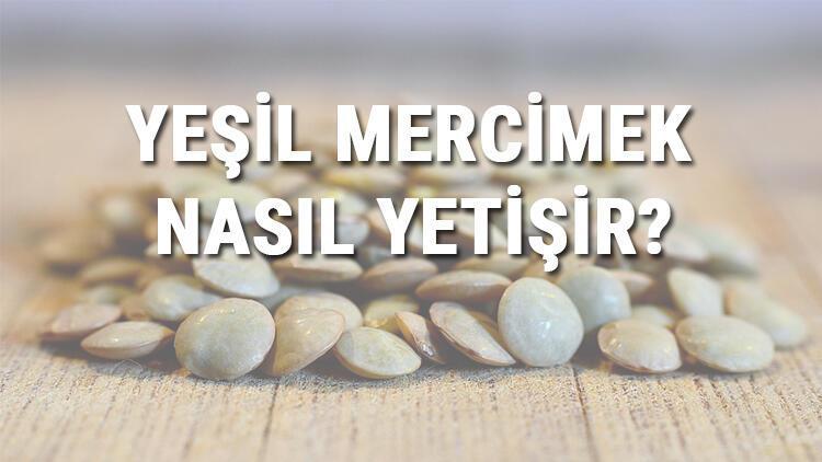 Yeşil Mercimek Nasıl Yetişir? Yeşil Mercimek Türkiye'de En Çok Ve En İyi Nerede Yetişir Ve Nasıl Yetiştirilir?