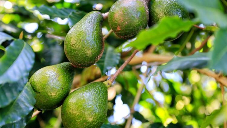 Avokado Nasıl Yetişir? Avokado Türkiye'de En Çok Ve En İyi Nerede Yetişir Ve Nasıl Yetiştirilir?