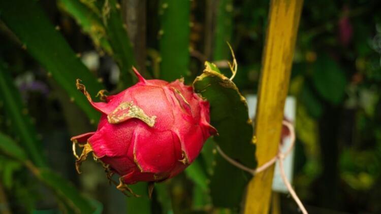 Ejder Meyvesi Nasıl Yetişir? Ejder Meyvesi Türkiye'de En Çok Ve En İyi Nerede Yetişir Ve Nasıl Yetiştirilir?