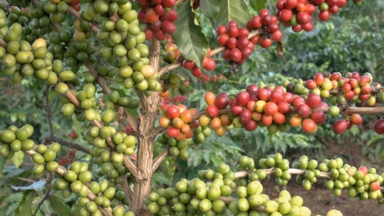 Kahve Nasıl Yetişir? Kahve Türkiye'de En Çok Ve En İyi Nerede Yetişir Ve Nasıl Yetiştirilir?