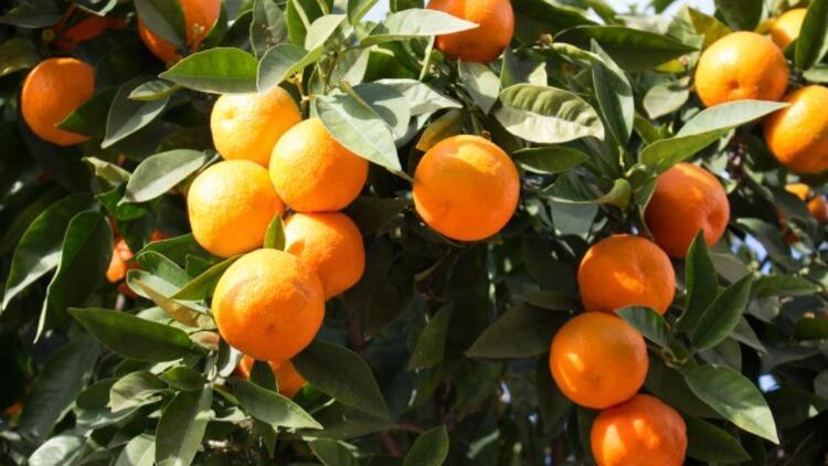 Portakal Nasıl Yetişir? Portakal Türkiye'de En Çok Ve En İyi Nerede Yetişir Ve Nasıl Yetiştirilir?