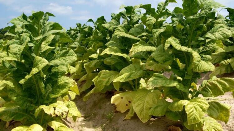 Tütün Nasıl Yetişir? Tütün Türkiye'de En Çok Ve En İyi Nerede Yetişir Ve Nasıl Yetiştirilir?