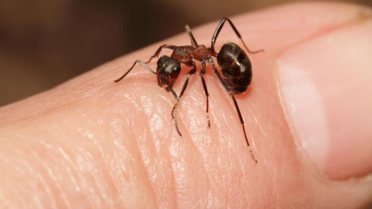 Karınca Isırığı Nasıl Olur Ve Nasıl Anlaşılır? Karınca Isırığı Nasıl Geçer Ve Ne İyi Gelir