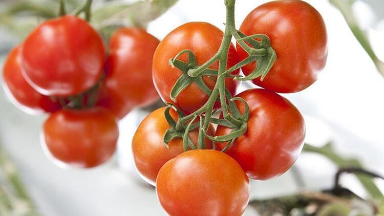 Ağrı'da eksi 30 derecede domates yetiştirilecek