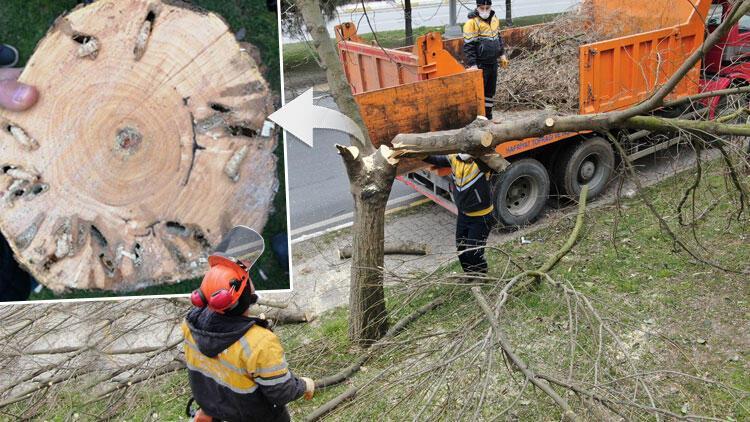 İstanbul'un ağaçlarında korkutan tehlike! Hepsini tek tek kestiler...