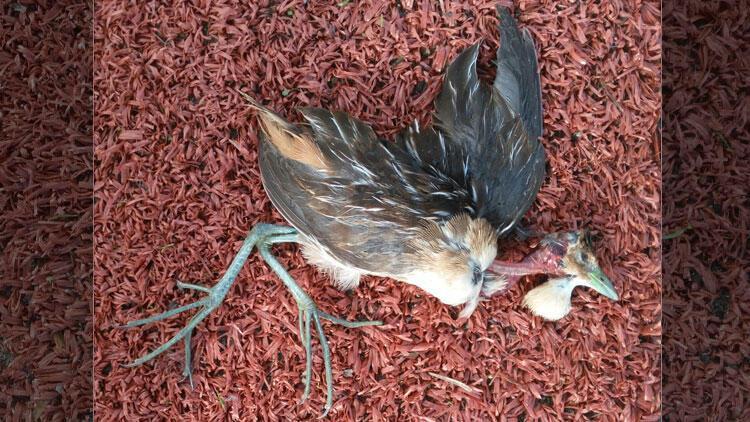 Türkiye'de ilk kez görüldüğü ortaya çıktı! Bodrum'da ölü bulunmuştu...