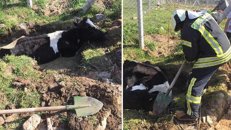 Balçığa saplanan ineği itfaiye kurtardı