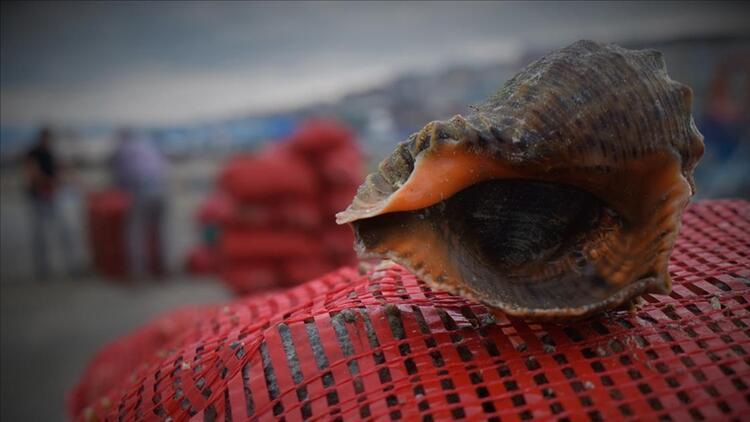 Yılın ilk ayında 1,6 milyon dolarlık deniz salyangozu ihracatı