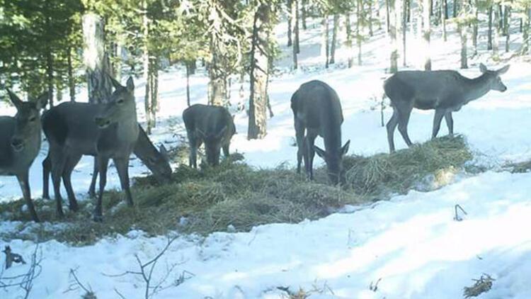 Kütahya'da kızıl geyiklerin beslenme anları fotokapana yansıdı
