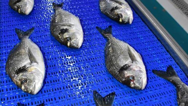 Avrupa Türk balığına göz dikti! Talep yüzde 50 arttı...