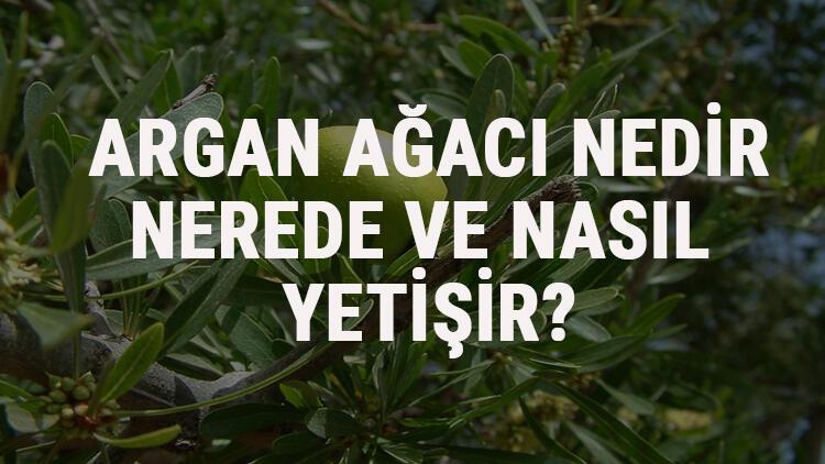 Argan Ağacı Nedir, Nerede Ve Nasıl Yetişir? Argan Ağacı Özellikleri, Bakımı Ve Faydaları Hakkında Bilgi