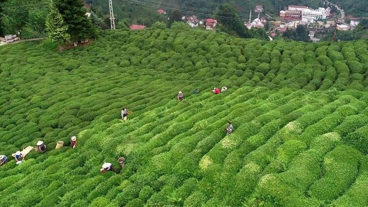 Yaş çay destekleme primi ödemeleri üreticilerin hesabına aktarıldı