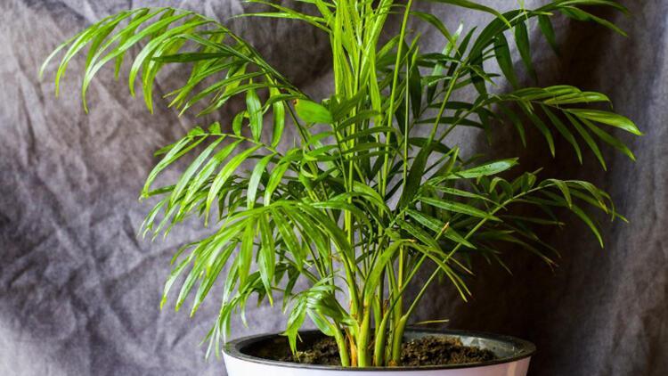 Areka palmiyesi bakımı nasıl yapılır? İşte areka palmiyesinin bakımı, sulaması ve çoğaltılması