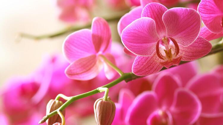 Orkide Bakımı Nasıl Yapılır? İşte Orkide Sulama ve Çoğaltmanın Püf Noktaları
