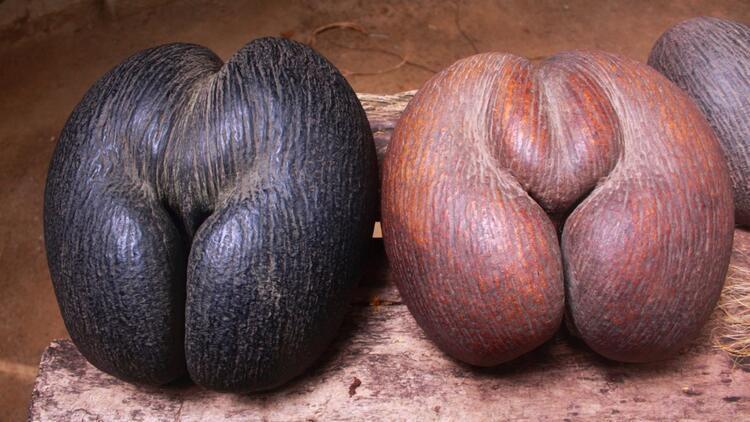Meyve vermesi 50 yıl sürüyor... Dünyanın en büyük tohumu 'coco de mer'den 8000 bin tane kaldı