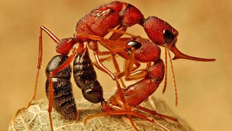 Bilim insanlarını şaşırtan keşif! Dişi karıncalar kraliçe olmak için beyinlerini feda ediyor