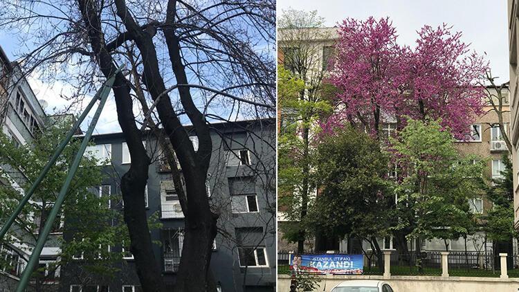 134 yıllık erguvan ağacını mahalle sakinleri kurtardı