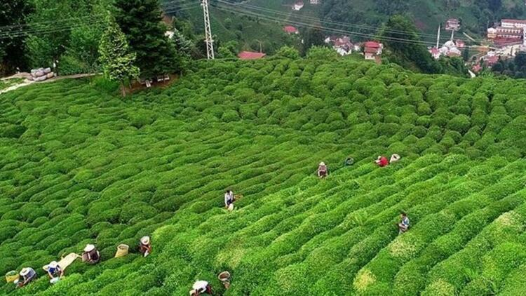 """Rize Valiliği'nden """"Çay tarlasına giden vatandaşlara ceza yazılıyor""""  iddiasına yanıt"""