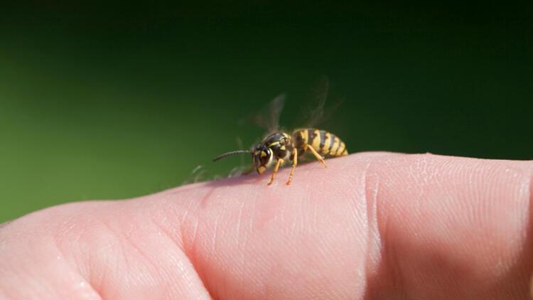 Arı sokmasına ne iyi gelir? Arı sokması durumunda yapılması gerekenler