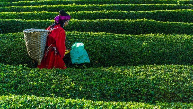 Çaykur yaş çay fiyatı 2021: Çay alım fiyatı ne kadar oldu?