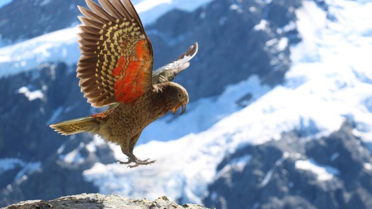 Kea papağanları: 'Yeter artık' diyerek gitmişler!