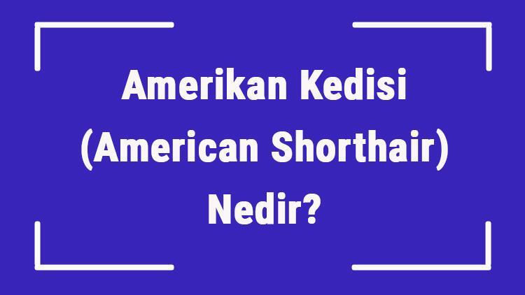 Amerikan Kedisi (American Shorthair) Nedir? Amerikan Kedisinin Özellikleri, Kişiliği Ve Bakımı Nasıldır?
