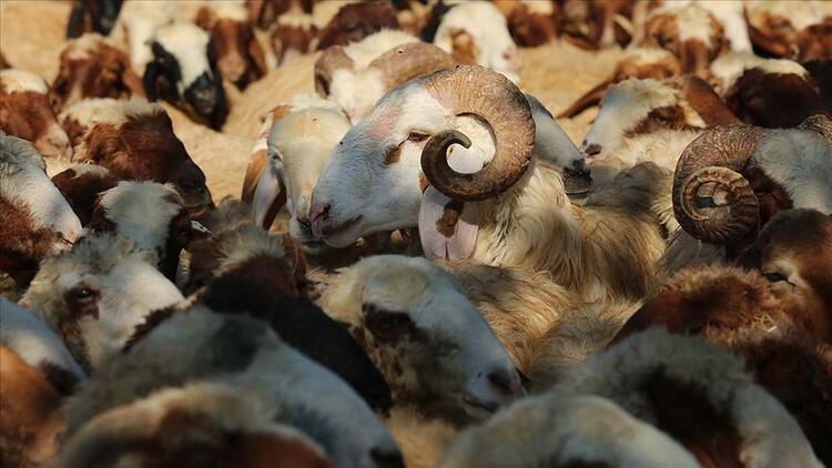 Kurban eti nasıl dağıtılır? Kurbanlık nasıl pay edilmeli? İşte kurban etinin dağıtımıyla ilgili Diyanet'in açıklaması