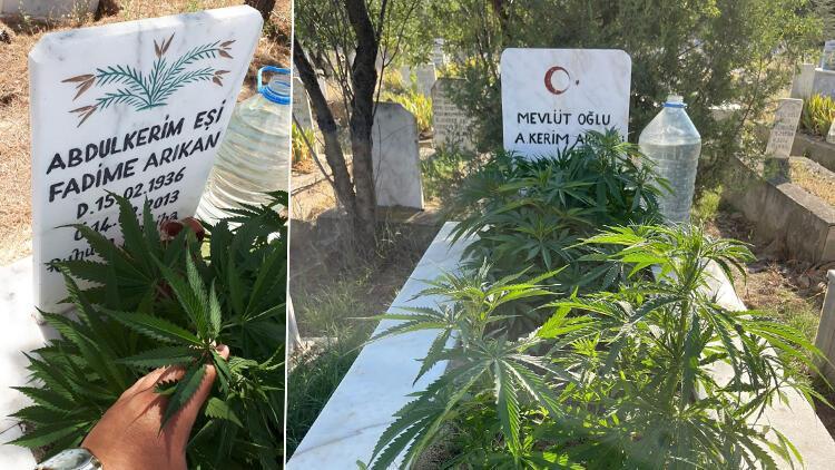 Afyonkarahisar'da anneanne ve dedesinin mezarına kenevir ekti