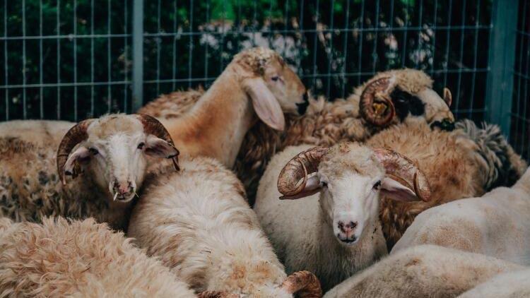 Kurban eti kimlere verilir, kimlere verilmez?