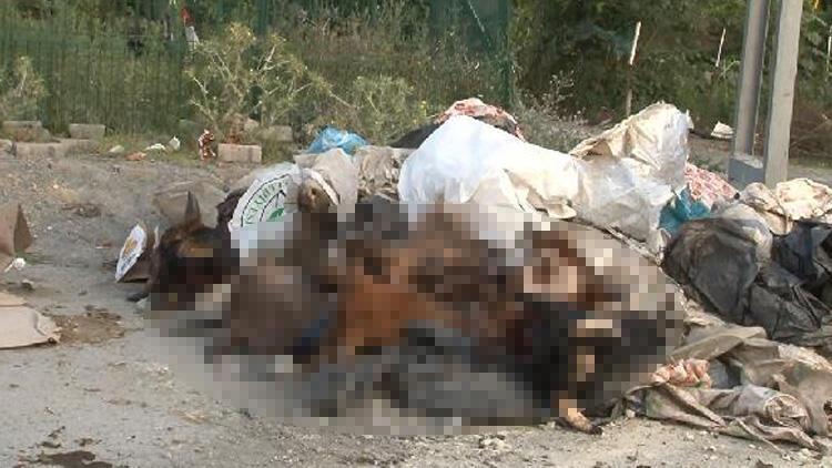 Arnavutköy'de rezalet! İsyan ettiren olay: Kurbanlık hayvanların kafalarını yola attılar