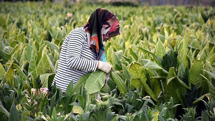 2021'in ilk altı ayında 357 milyon dolarlık tütün ihracatı gerçekleştirildi