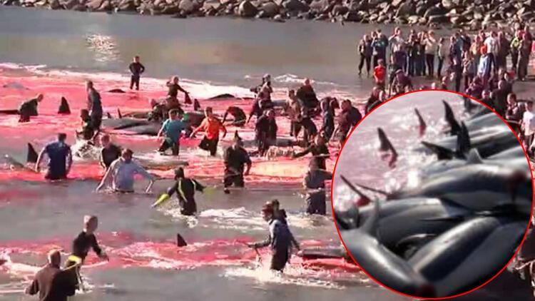1500e yakın balina ve yunusu acımasızca katletmişlerdi... Resmi açıklama yaptılar