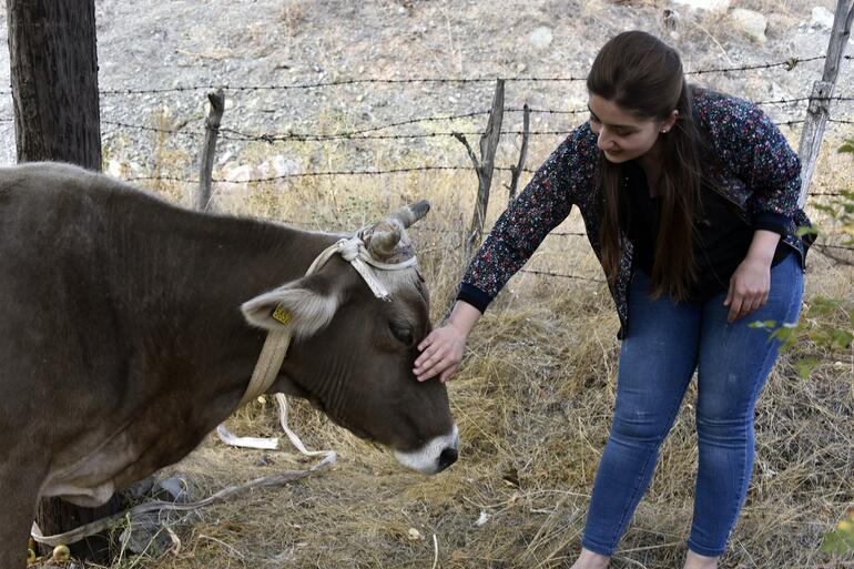 Firari inek Bayburtta kaçtı, Gümüşhanede bulundu