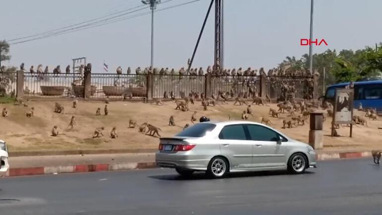 Son dakika haberleri: Taylanddaki bu görüntüler şoke etti Maymunlar sokakları istila etti