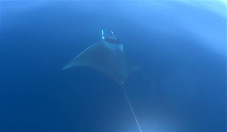 Kuzey Egede ilk kez yalancı katil balinalar, Gökçeadada dev vatoz görüntülendi