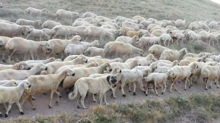 Bakan Varank duyurdu Kangal köpekleri ile ilgili önemli gelişme