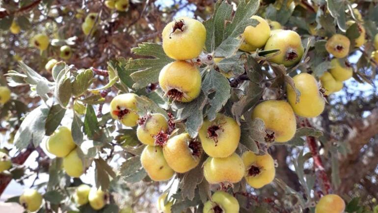 Alıç meyvesini çekirdekleriyle yiyen 5 kişi hastaneye kaldırıldı