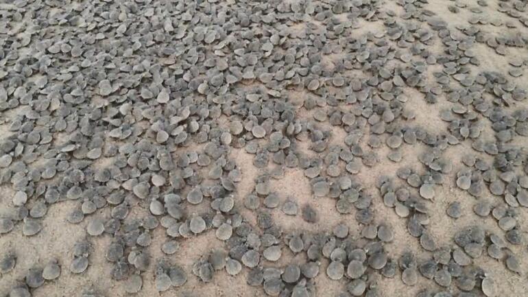 Son dakika...Amazon Nehrinde kaplumbağa seli