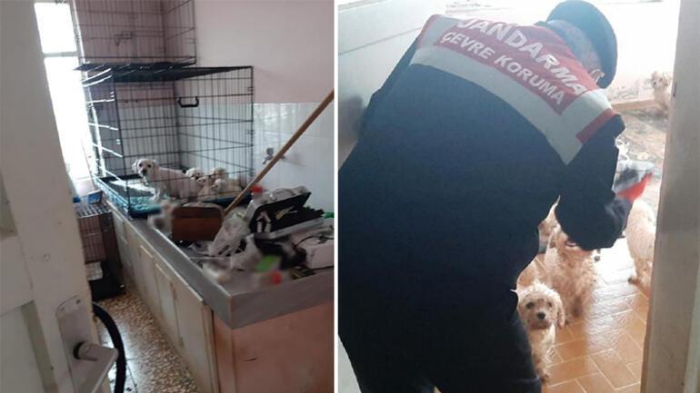 Çiftliğe köpek baskını; Maltese Terrier' cinsi 23 köpek ele geçirildi